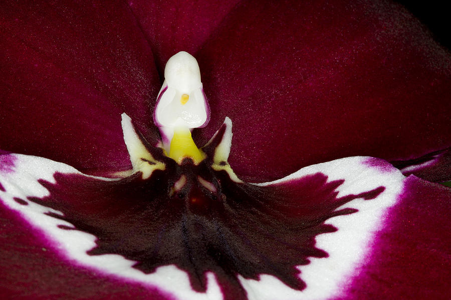 Orchid Photograph - Exotic Orchid Flowers Of C Ribet by C Ribet