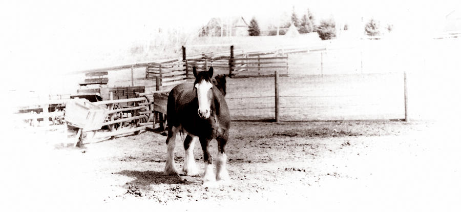 Farm Photograph - 1900  Clydesdale Horse by Marcin and Dawid Witukiewicz