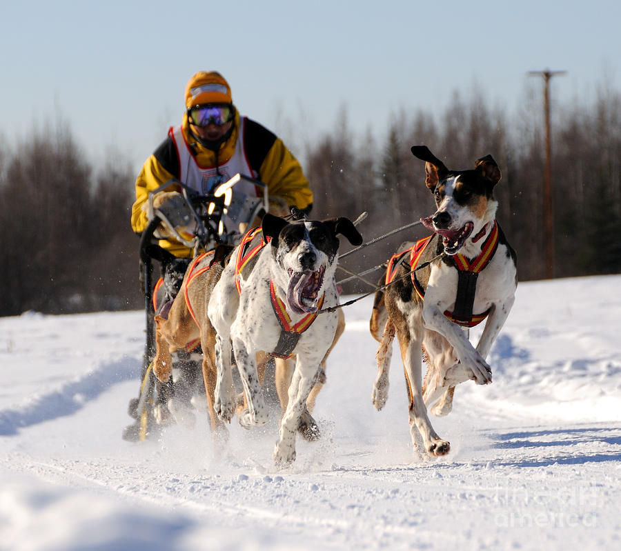 Alaska Photograph - 2011 Limited North American Sled Dog Race by Gary Whitton