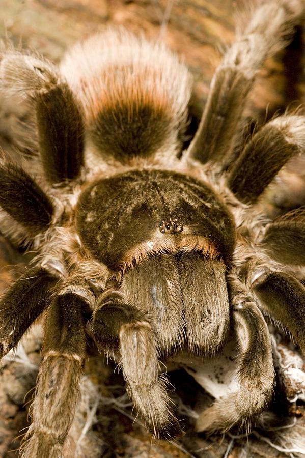 Closeups Photograph - A Tarantula Living In Mangrove Forest by Tim Laman