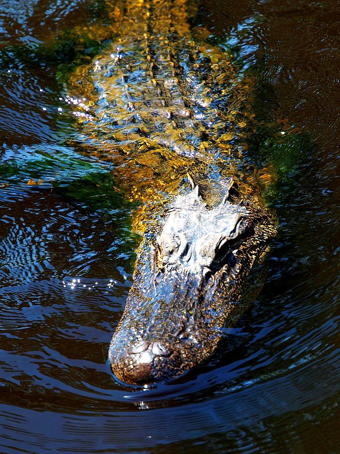 Alligator Photograph - Alligator In Mississippi River by Paul Ge