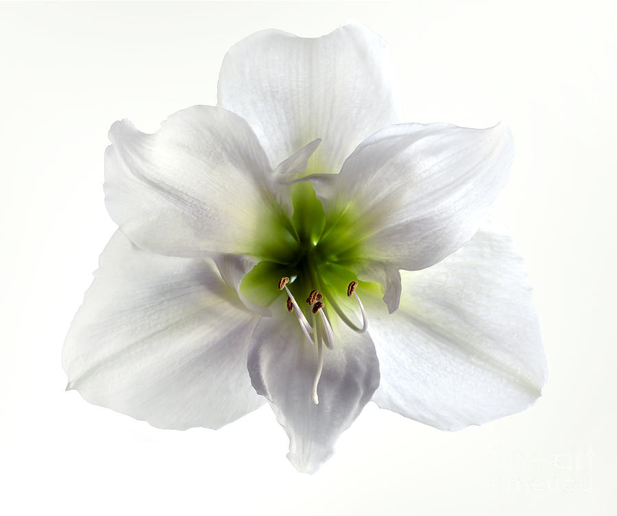 Amaryllis Photograph - Amaryllis by Jane Rix
