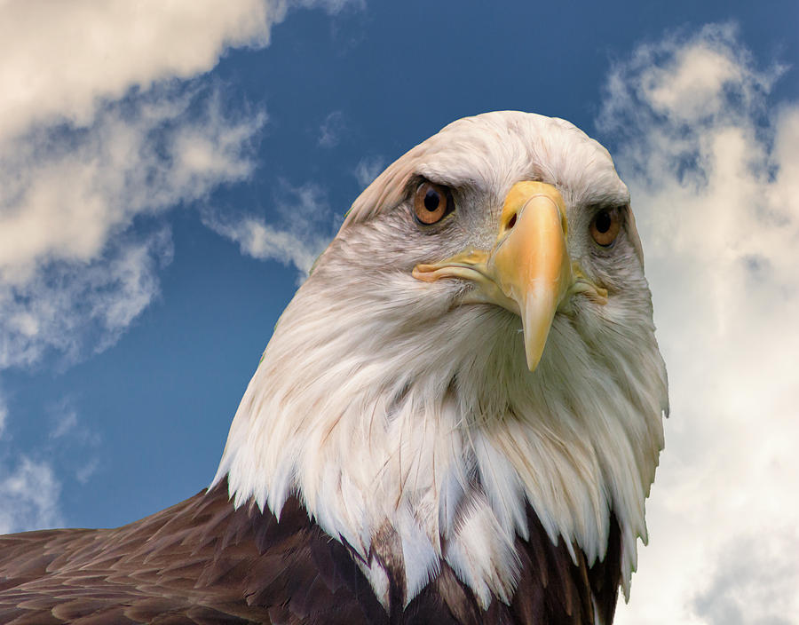 American Culture Photograph - American Bald Eagle by Ken Wolter