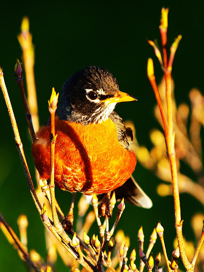American Robin Photograph by Paul Ge