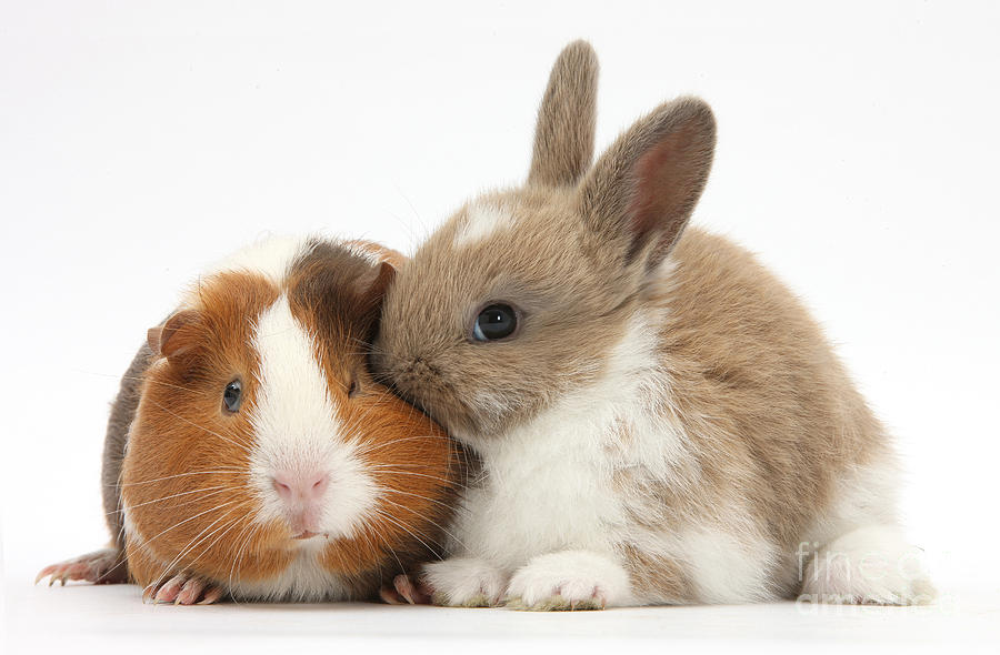 baby guinea pig wallpapers