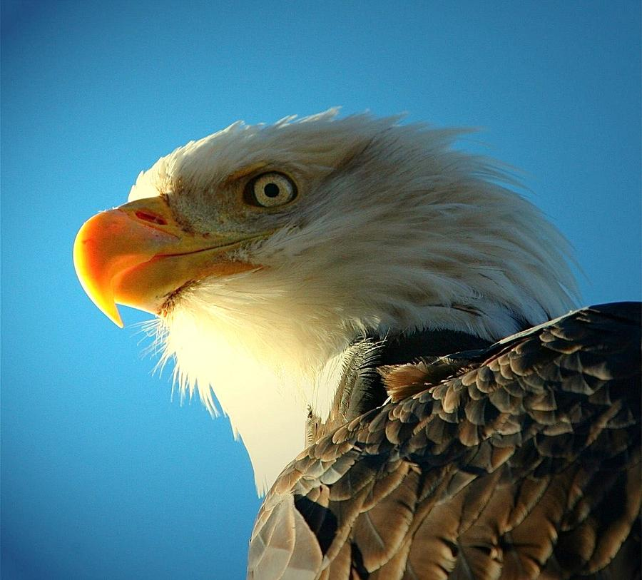 Bald Eagles Digital Art - Bald Is Beautiful by Carrie OBrien Sibley