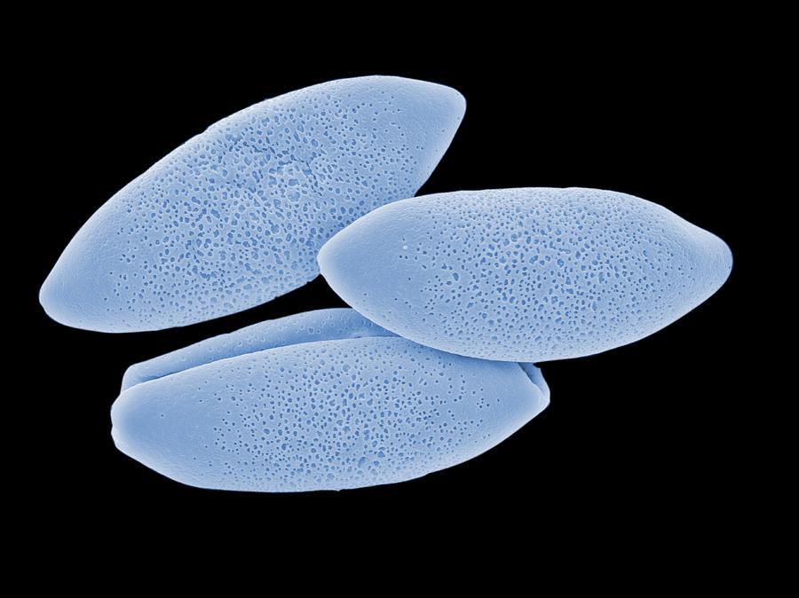 Bluebell Photograph - Bluebell Pollen Grains, Sem by Peter Bond, Em Centre, University Of Plymouth