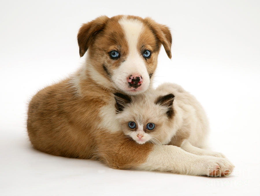 Kitten Photograph - Border Collie And Birman-cross Kitten by Jane Burton