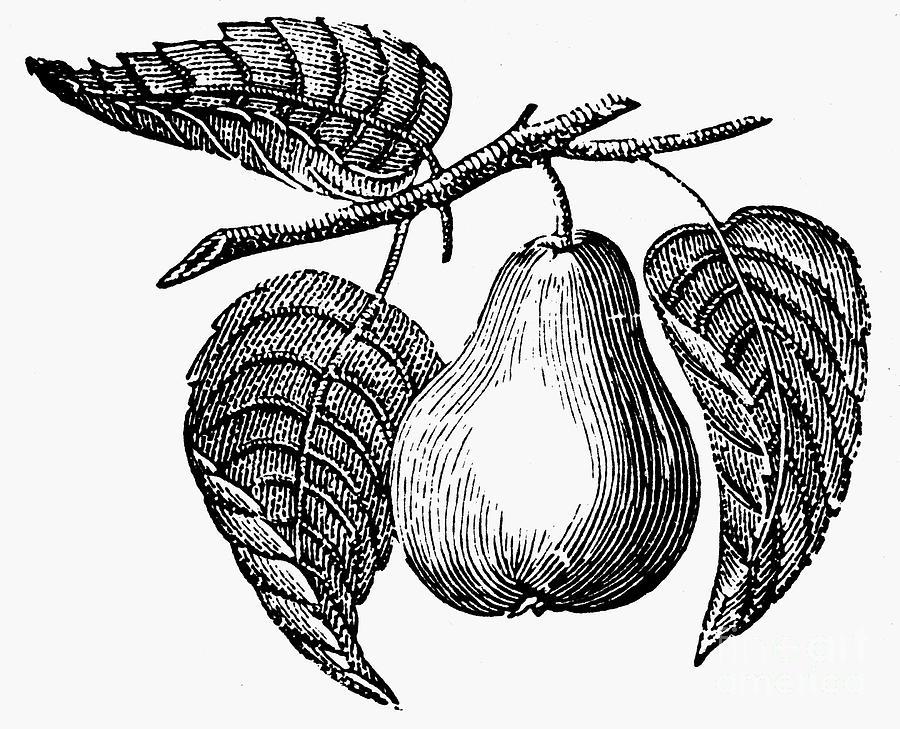 Biology Photograph - Botany: Pear by Granger