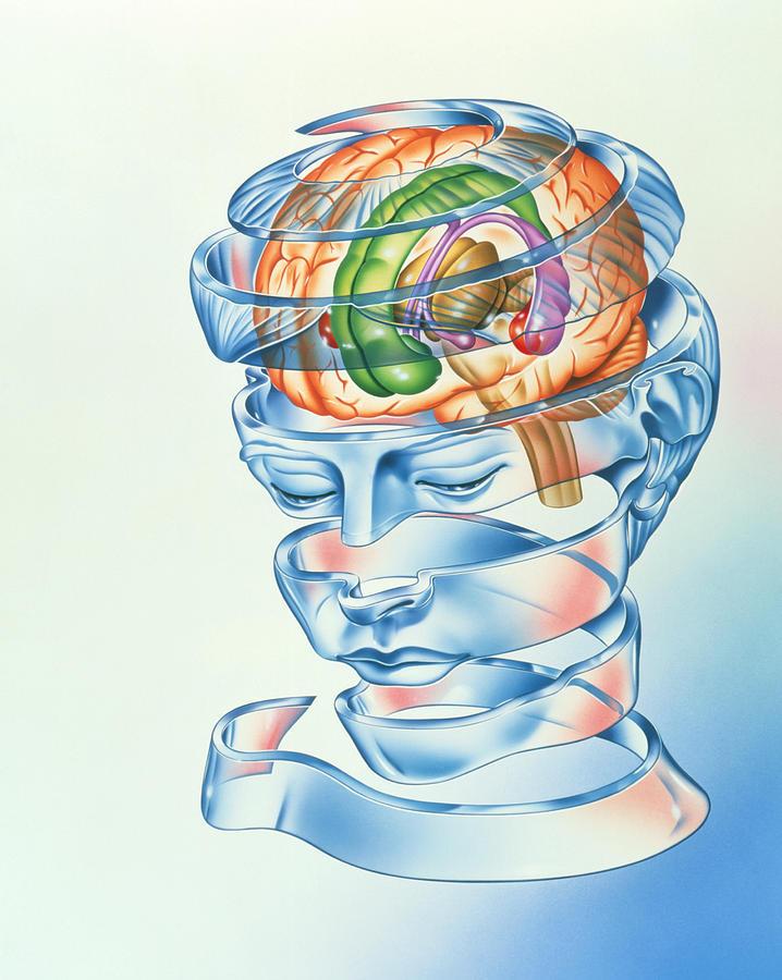 Limbic System Photograph - Brain Limbic System by John Bavosi