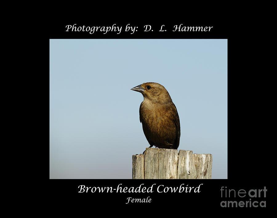 Bird Photograph - Brown-headed Cowbird by Dennis Hammer