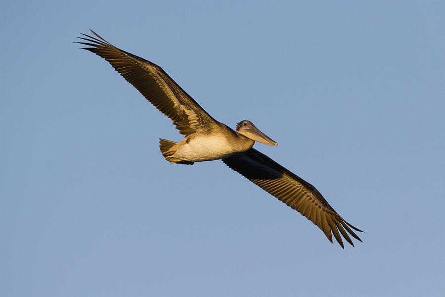 Brown Pelican Juvenile Flying Photograph by Sebastian Kennerknecht