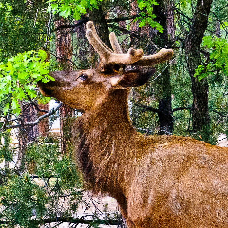 Grand Canyon Photograph - Browsing Elk In The Grand Canyon by Bob and Nadine Johnston