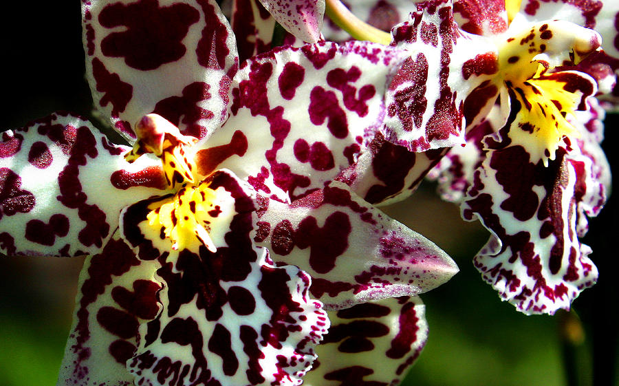 Orchid Photograph - C Ribet Orchids by C Ribet