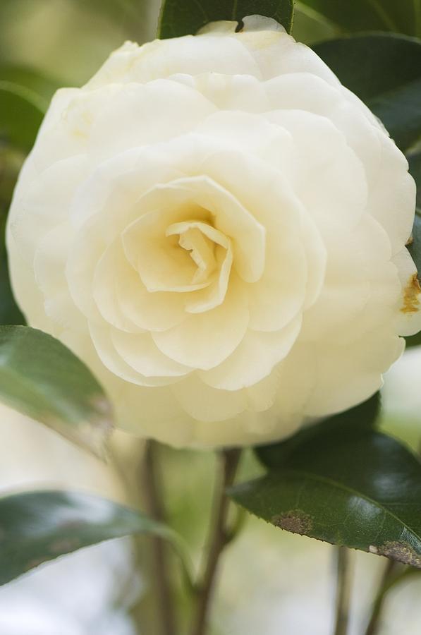 Camellia Japonica Photograph - Camellia Japonica by Maria Mosolova