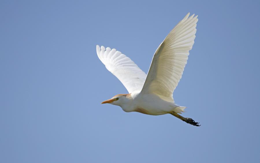 Cattle Egret Photograph
