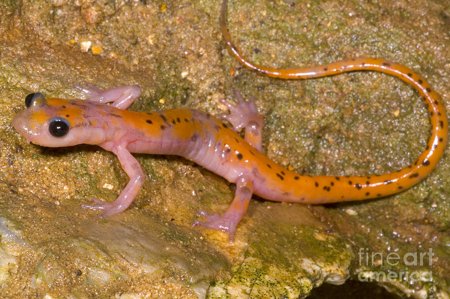 Eurycea Lucifuga Photograph - Cave Salamander by Dante Fenolio