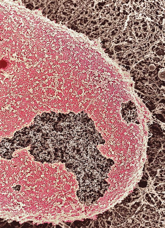 Nucleus Photograph - Cell Nucleus, Sem by