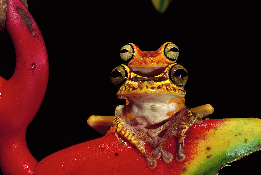 Mp Photograph - Chachi Tree Frog Hyla Picturata Pair by Pete Oxford