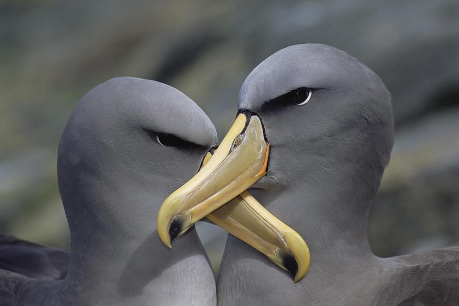 Chatham Albatross Thalassarche Eremita Photograph by Tui De Roy