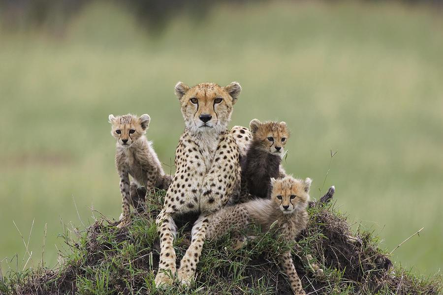 Cheetah Acinonyx Jubatus Mother Photograph By Suzi Eszterhas