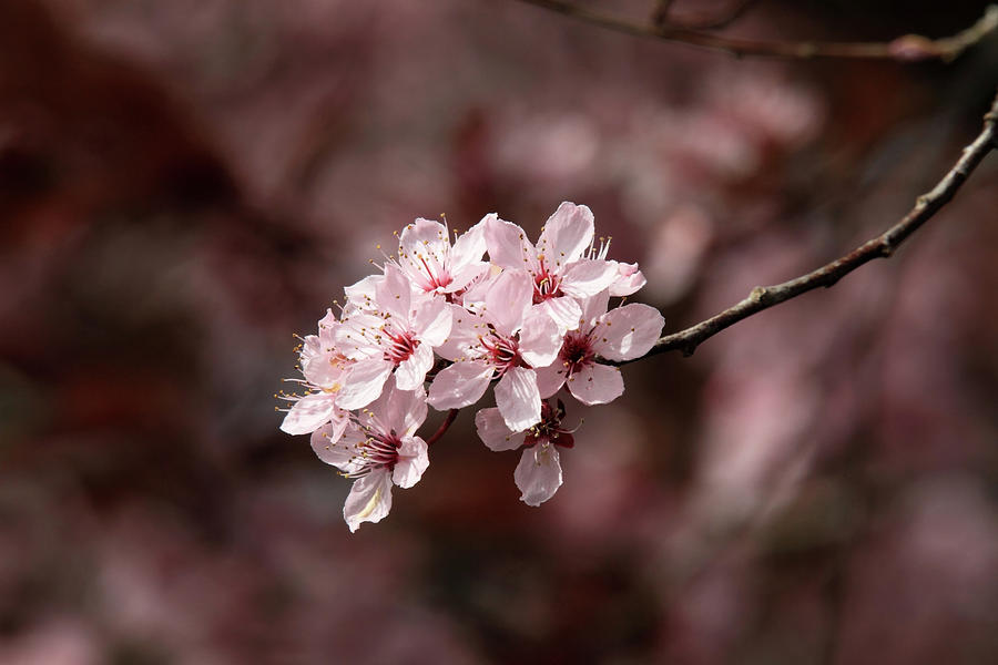 Cherry Photograph - Cherry Blossom Tree by Pierre Leclerc Photography