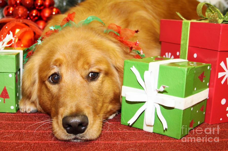 golden retriever photograph christmas portraits golden retriever by renae crevalle