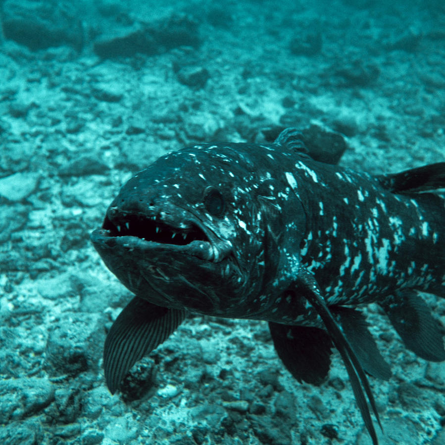 Coelacanth Photograph - Coelacanth Fish by Peter Scoones