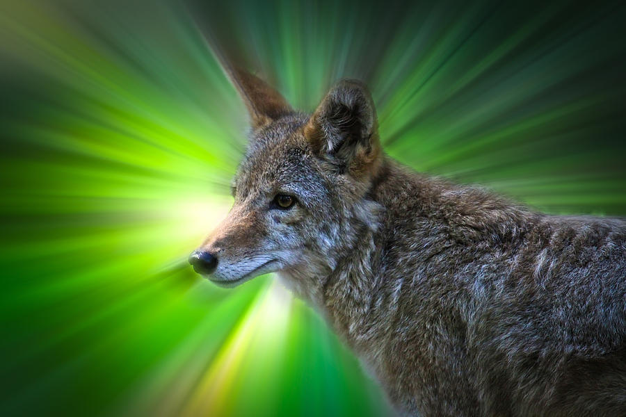 Coyote Photograph - Coyote by Steve McKinzie