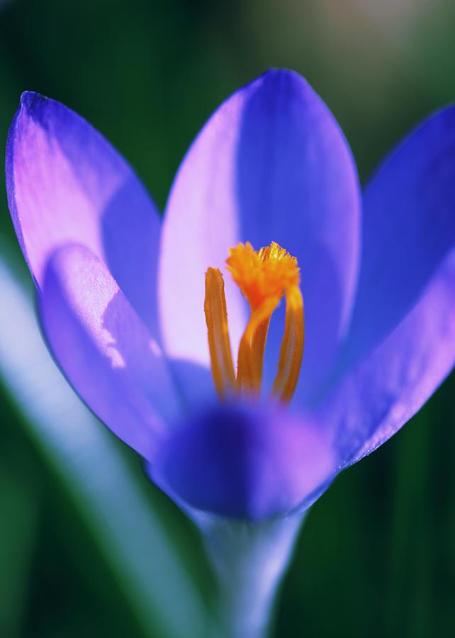 Blumen Photograph - Crocus by Falko Follert