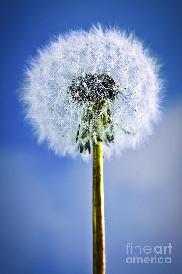 Dandelion Photograph - Dandelion by Elena Elisseeva