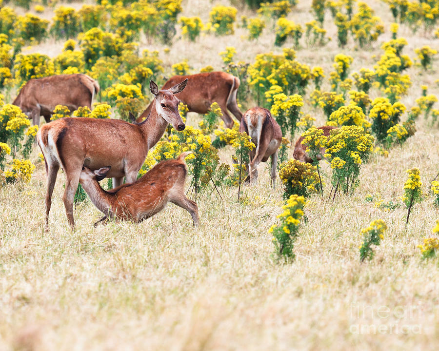 Deer Photograph - Deers by MotHaiBaPhoto Prints