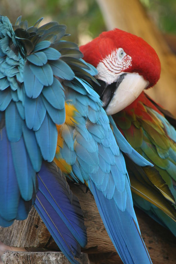 Parrots Photograph - Feather By Feather by Valia Bradshaw