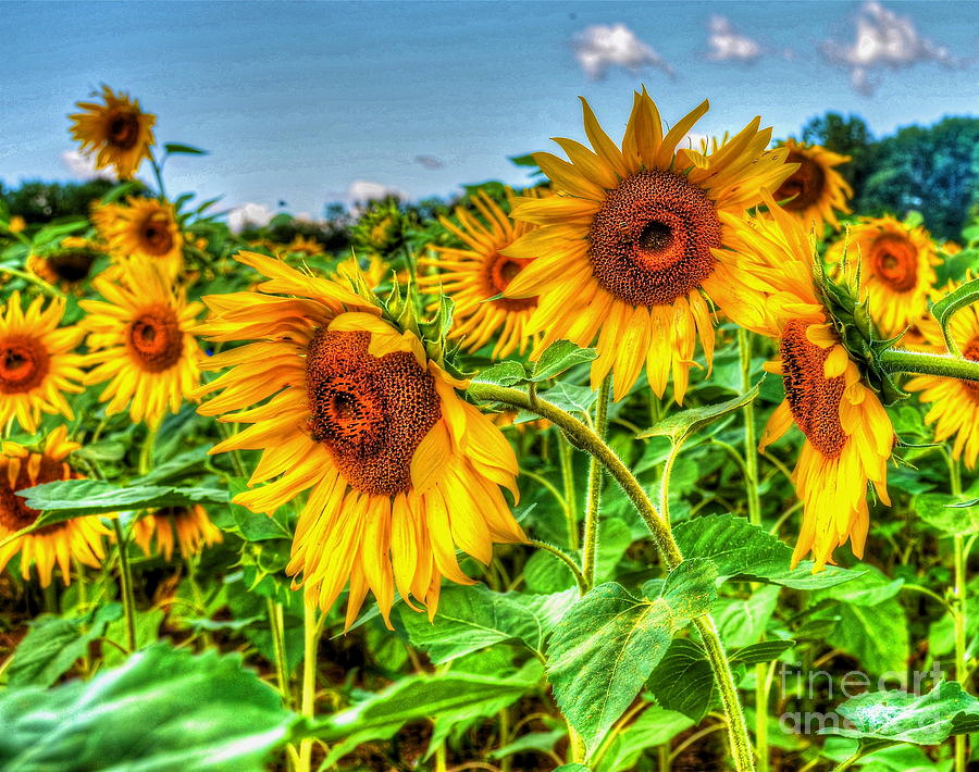 Sunflowers Photograph - Field Of Dreams by Debbi Granruth