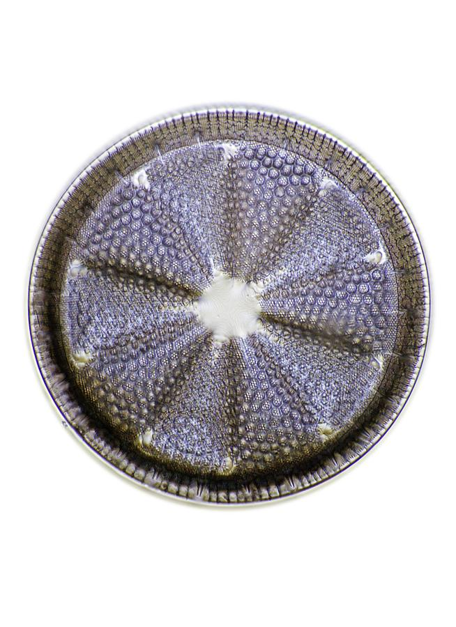 Alga Photograph - Fossil Diatom, Light Micrograph by Frank Fox
