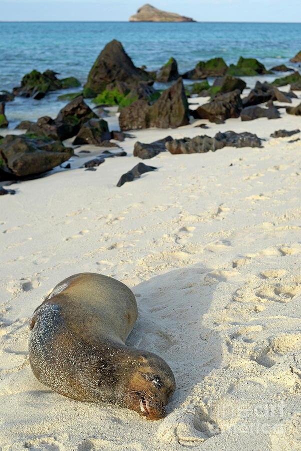 Exhaustion Photograph - Galapagos Sea Lion Sleeping On Beach by Sami Sarkis