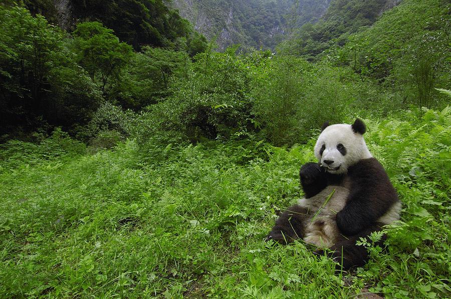 giant panda ailuropoda melanoleuca photograph by pete oxford
