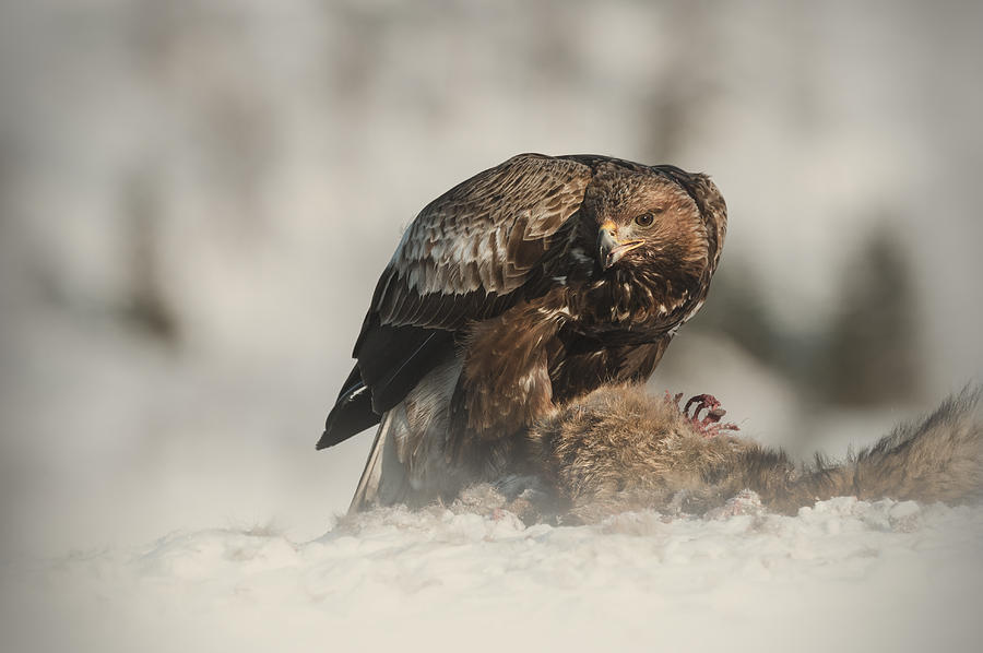 Animals In The Wild Photograph - Golden Eagle by Andy Astbury