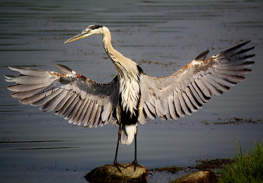 Low Country Photography Photograph - Great Blue Heron In The Marsh by Paulette Thomas