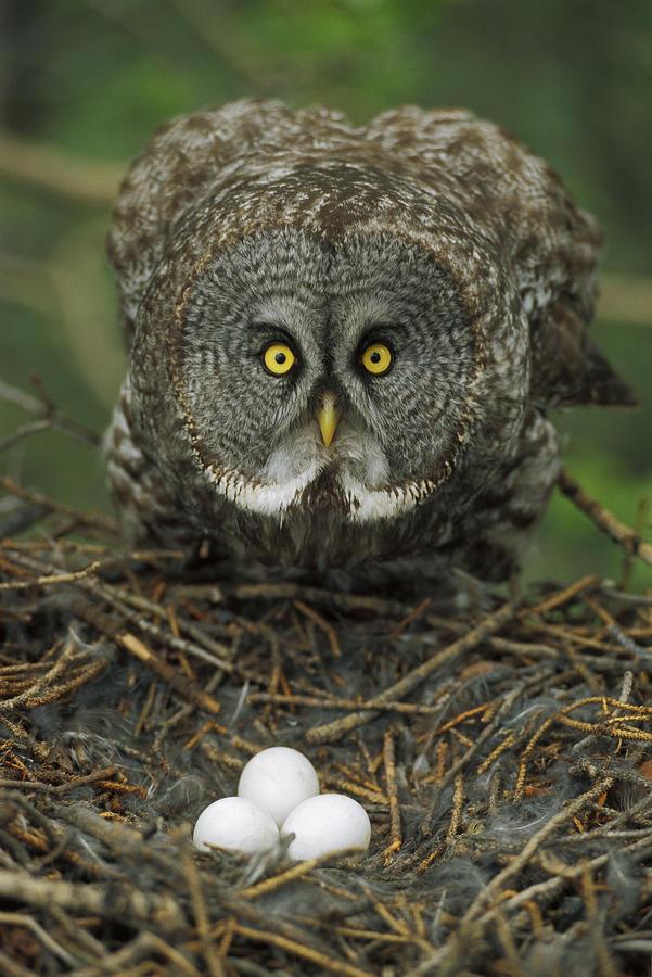 Great Gray Owl Strix Nebulosa Parent Photograph by Michael Quinton