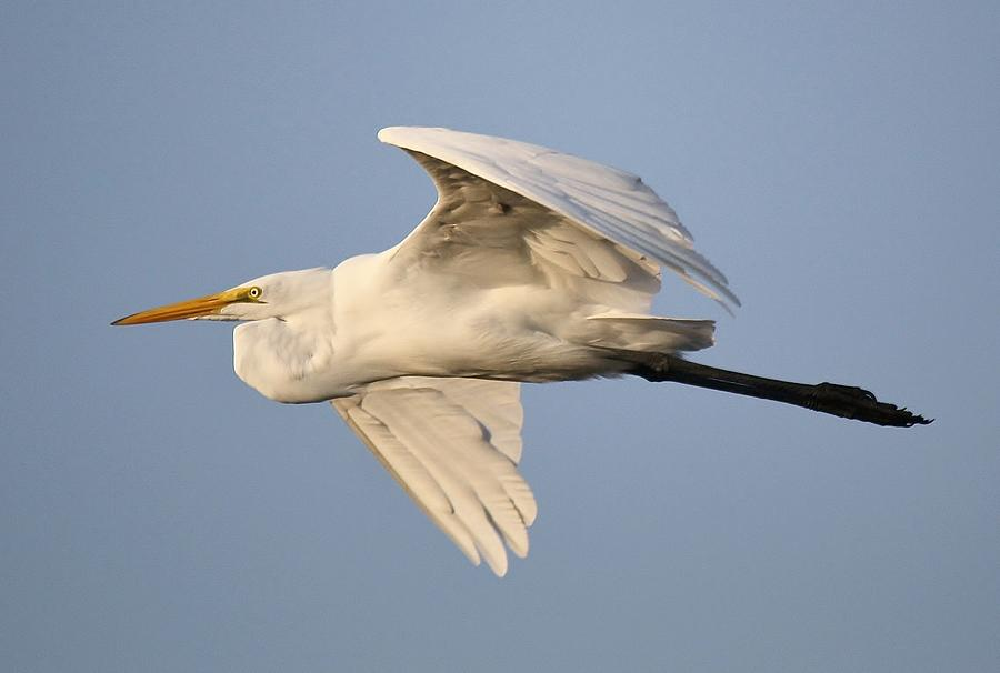 Great White Egret Photograph - Great White Egret In Flight by Paulette Thomas