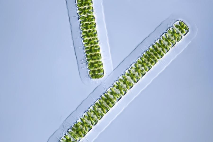 Algae Photograph - Green Algae, Light Micrograph by Frank Fox