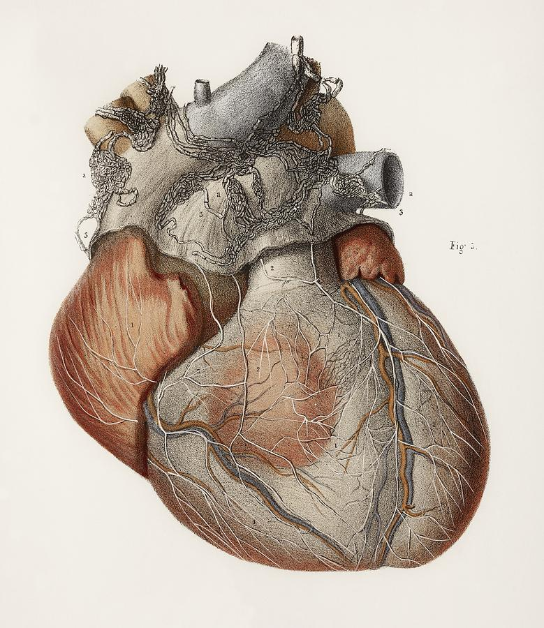 Heart Anatomy, 19th Century Illustration Photograph by
