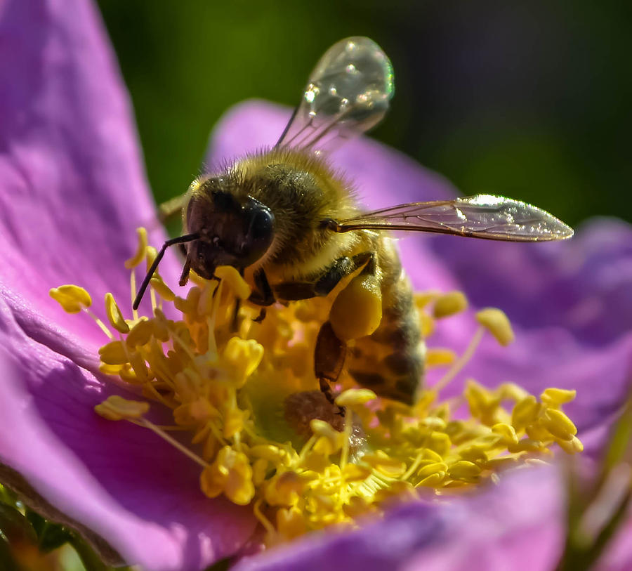 Honey Bee Photograph by Brian Stevens