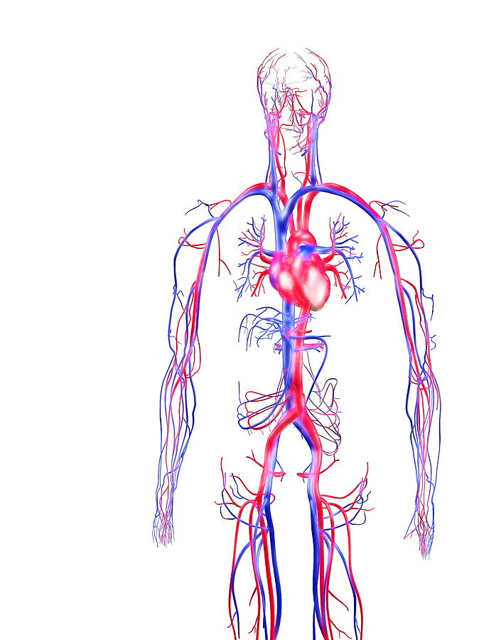 circulation system app Circulatory system, group of organs that transport blood and the substances it carries to and from all parts of the body the circulatory system can be considered as composed of two parts: the systemic circulation, which serves the body as a whole except for the lungs, and the pulmonary circulation, which carries the blood to and from the lungs.