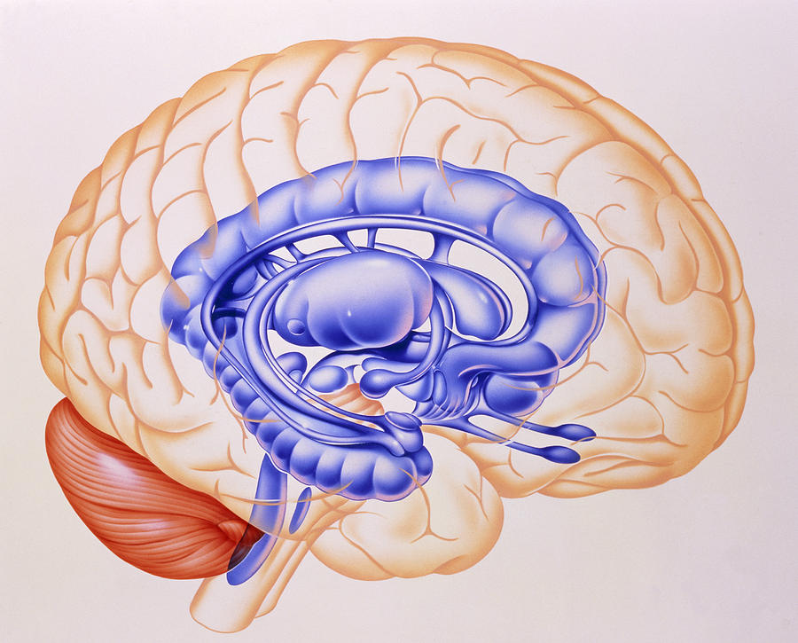 Illustration Of The Limbic System Of The Brain Photograph ...