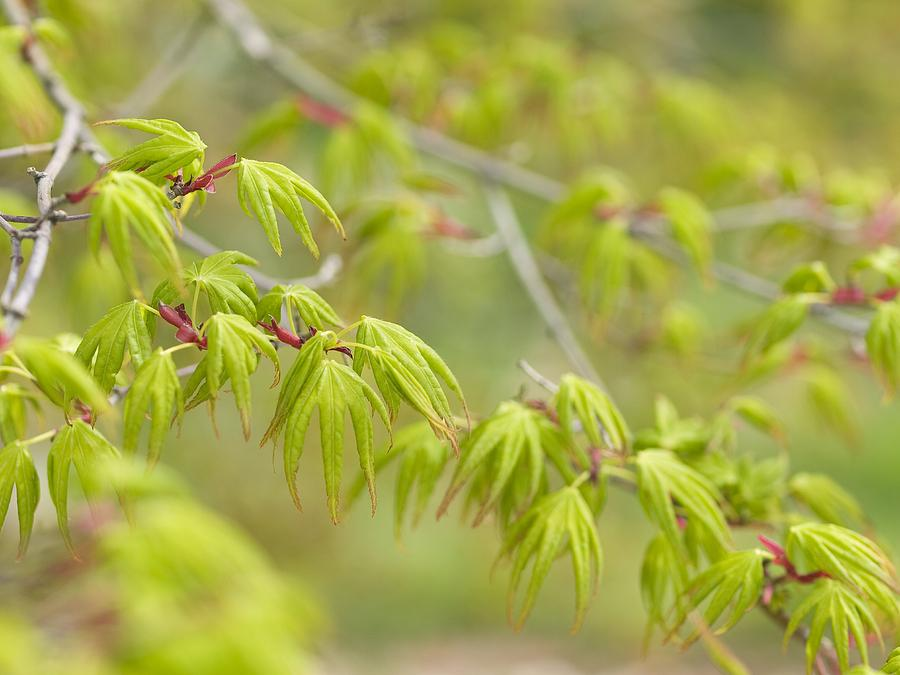 Japanese Maple Photograph - Japanese Maple (acer Palmatum) by Adrian Bicker