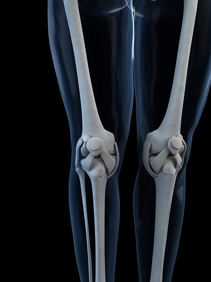 Vertical Photograph - Knee Anatomy, Artwork by Sciepro