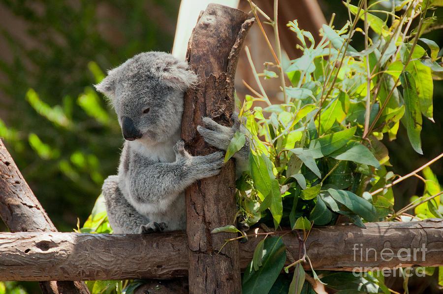 Animals Digital Art - Koala by Carol Ailles