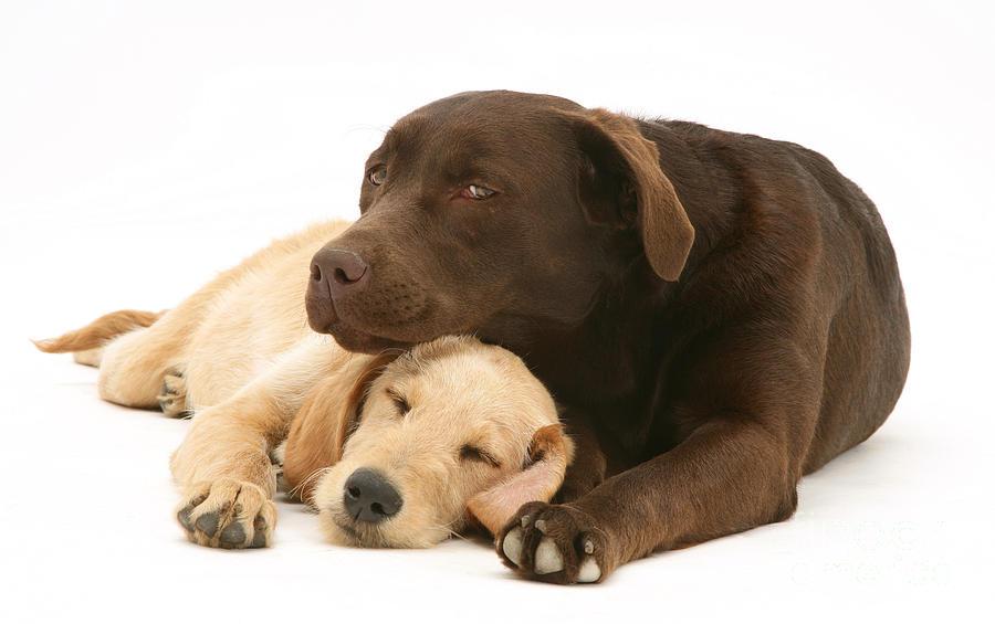 Dog Photograph - Labradoodle And Labrador Retriever by Jane Burton